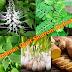 5 Tanaman Obat Sindrom Nefrotik Paling Ampuh