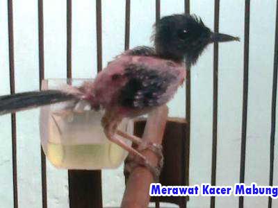 Bagi kita kicau mania yang terbiasa memelihara bermacam-macam burung kicauan niscaya sudah mengalam Order WA 0858-5314-7511 Cara Merawat Kacer Mabung Untuk Pemula | Seri Budidaya Burung Kicau