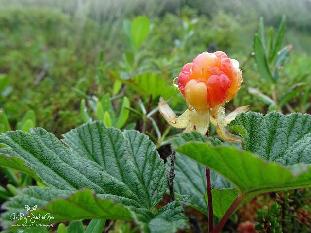 Rubus chamaemorus