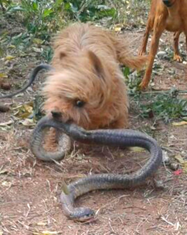 Miniature Yorkshire Terrier: Yorkie KILLS Snake!