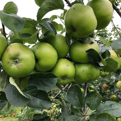 Allotment Apple Tree - The Grazer