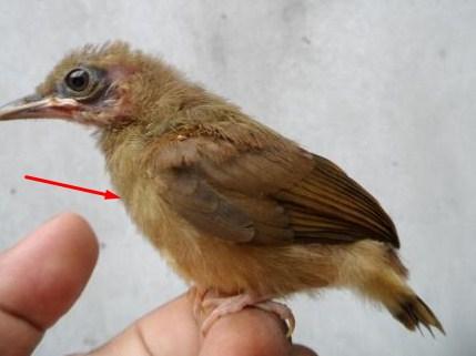 Tips Dan Cara Membedakan Burung Cucak Jenggot Anakan Jantan Dan Betina Paling Akurat Kicau Mania
