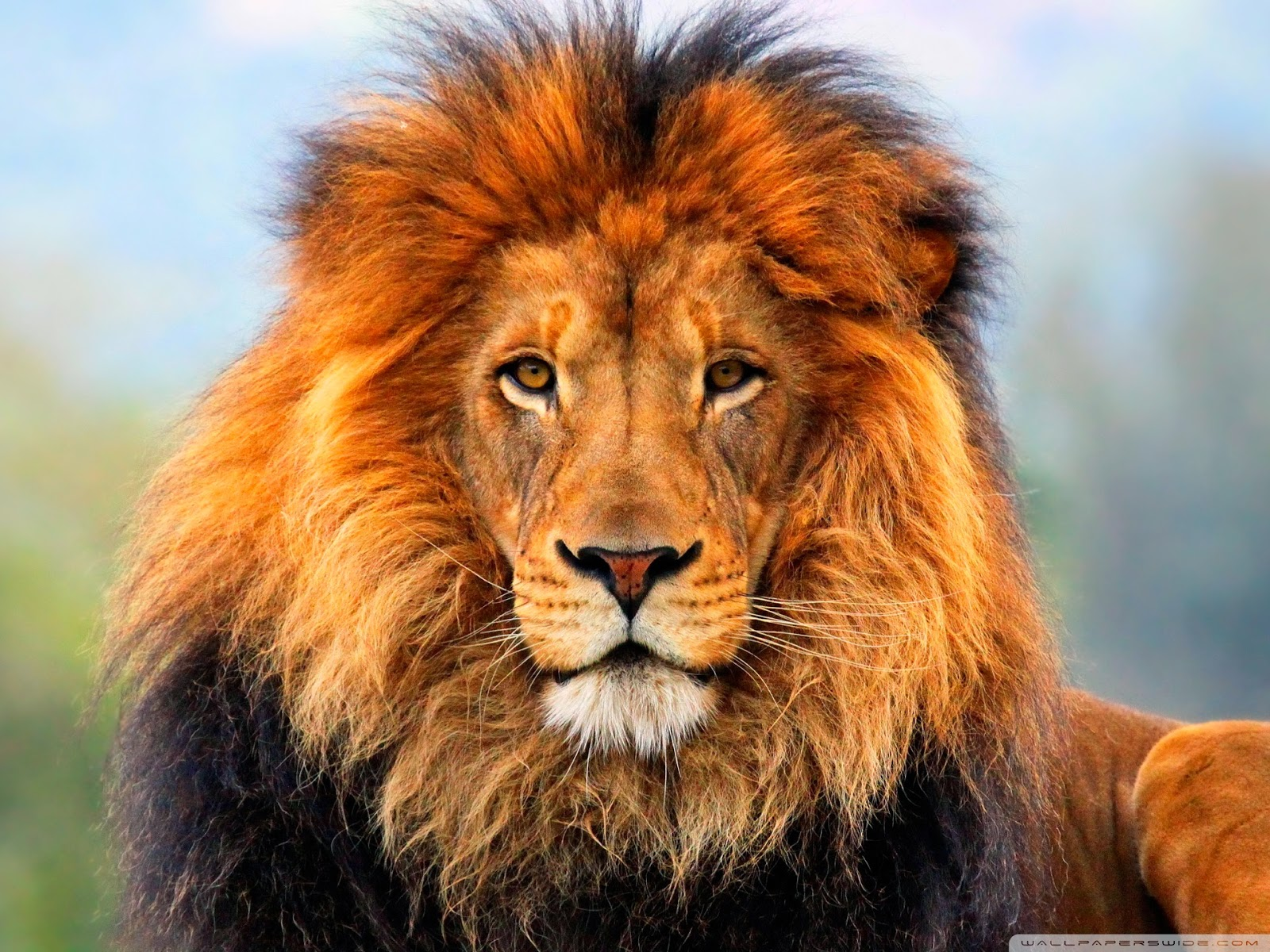 100 Lion Wallpapers For Your Desktop Most Beautiful Places In The World Download Free Wallpapers