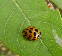 Theme, interesting predators of the asian lady beetle