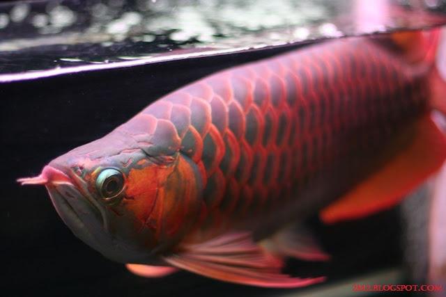 Gambar, Foto Cara Merawat Ikan Arwana Di Dalam Akuarium