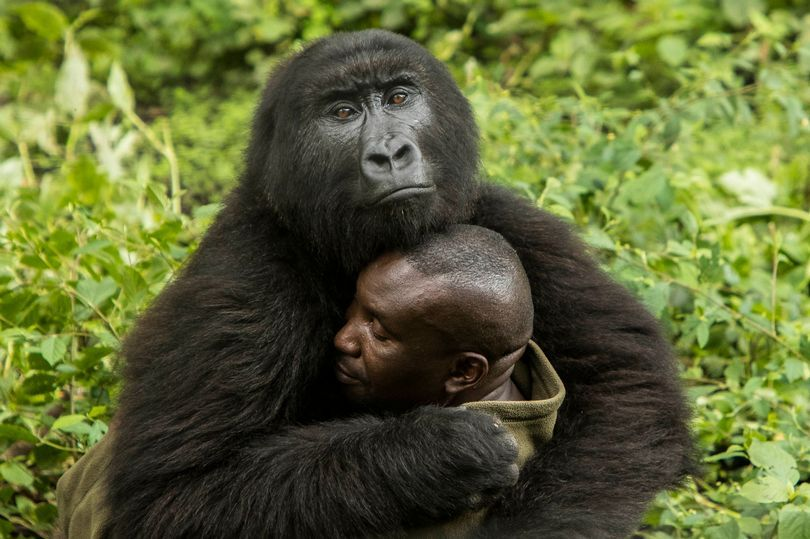 Orphaned gorillas wow onlookers as they embrace their keeper with loving hugs