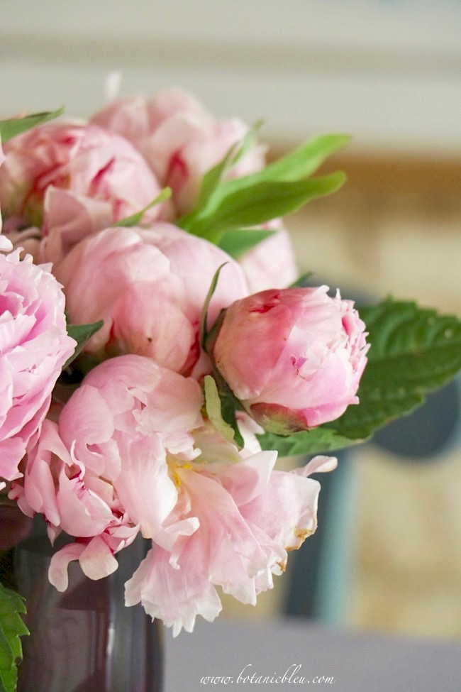 Sources for peony blooms with tips for prolonging the blooms