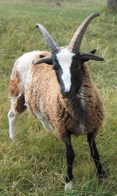 Το πιο περίεργα και εξωτικά πρόβατα που έχετε δει ποτέ photos