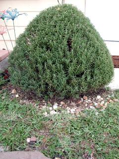 https://4.bp.blogspot.com/-ipru8RpUifw/WM7Qe6lFm4I/AAAAAAAAG7U/hZedg1U9Aeg2kKq7pitC74ZdBGZCMdL-wCLcB/s1600/Rosemary+bush.jpeg