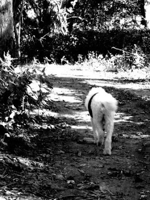Poodle walking down a wooded path-carmapoodale.com
