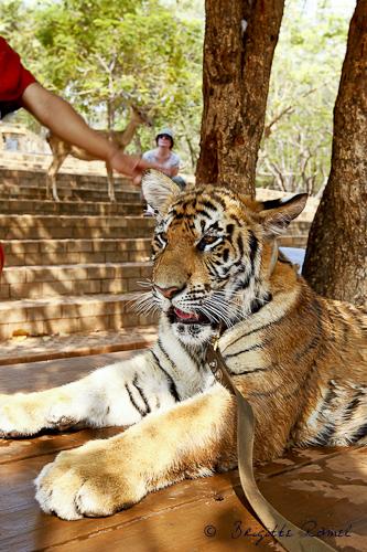 rencontre avec les tigres thailande site de rencontre gratuit au ghana