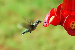 Cara Melatih Burung Kolibri Mau Makan Voer Dalam Waktu Singkat