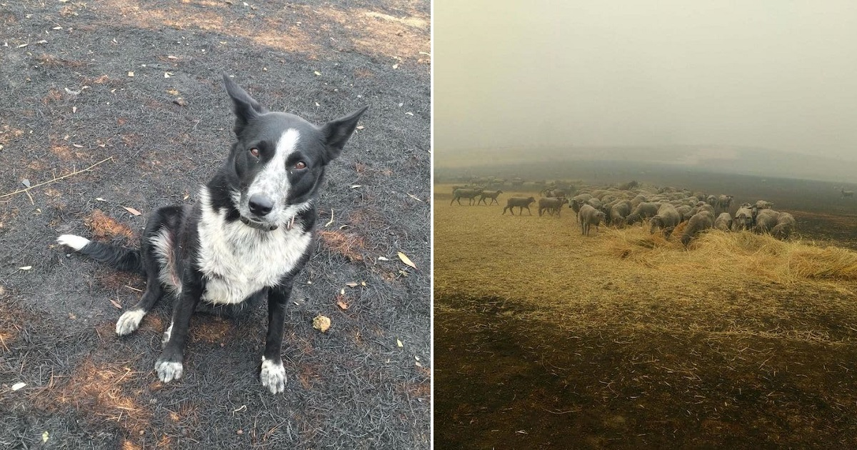 Patsi, A Brave Dog, Rescued 900 Sheep From The Deadly Flames In Australia