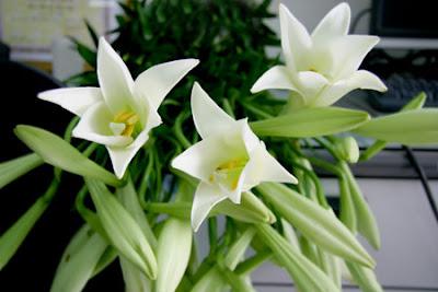 Chữa khỏi bệnh mất ngủ lâu ngày chỉ bằng hoa loa kèn