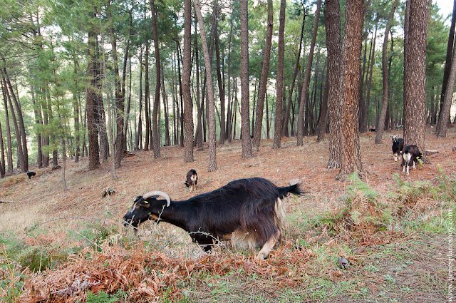 Cabras Avila Castañar El Tiemblo