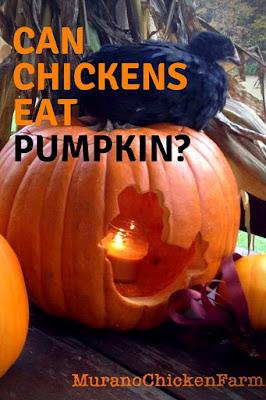 Black chicken with pumpkins