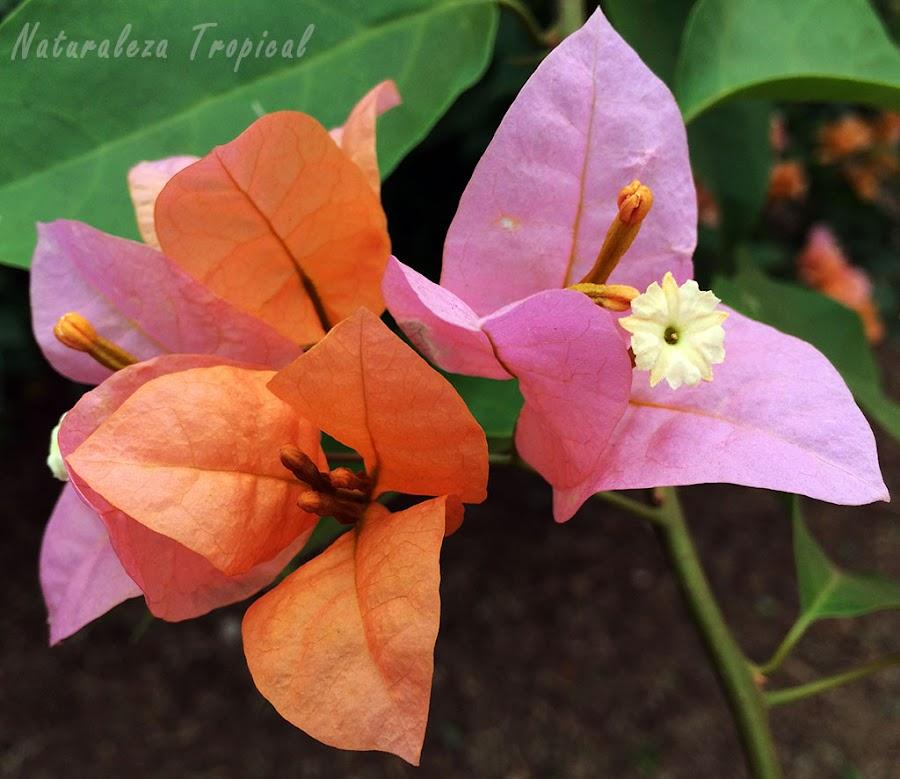 Brácteas naranjas-rosadas de una Buganvilla o Flor de Papel, género Bougainvillea
