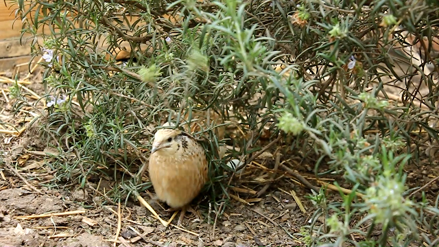 Coturnix quail leaving its nest to feed