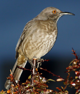 Curve-Billed Thrasher in my backyard.