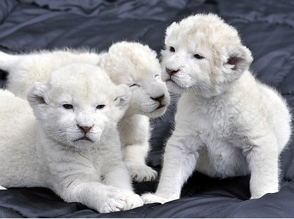 New Photos: Free White Lions Cubs Picture