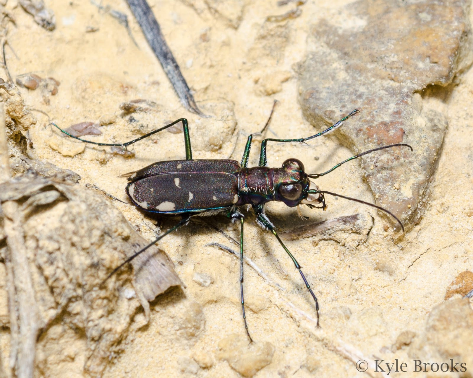 Eastern Red-Bellied Tiger Beetle, Cicindela rufiventris