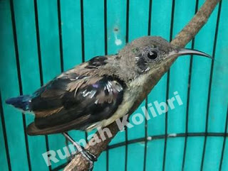Perawatan kolibri ninja saat mabung