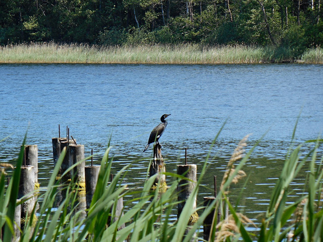 pale, trzcina, woda, ptak wodny, las, Liny, Linie