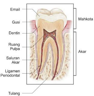 gambar bagian-bagian gigi