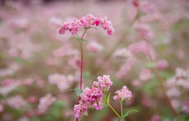 Everything About The Buckwheat Flower Season In Ha Giang