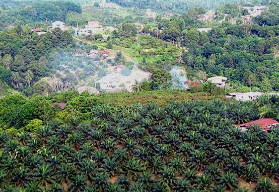 izin pembukaan lahan kelapa sawit ditunda