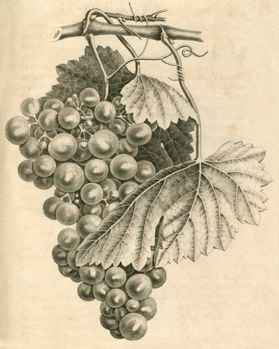 Chemin de papier une vieille coutume la plantation d 39 une vigne en 1868 dans le niortais et - Quand tailler une vigne ...