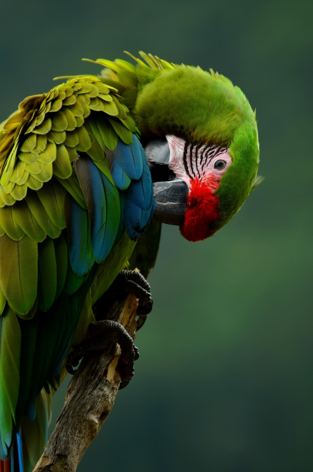 A colorful parrot preening.