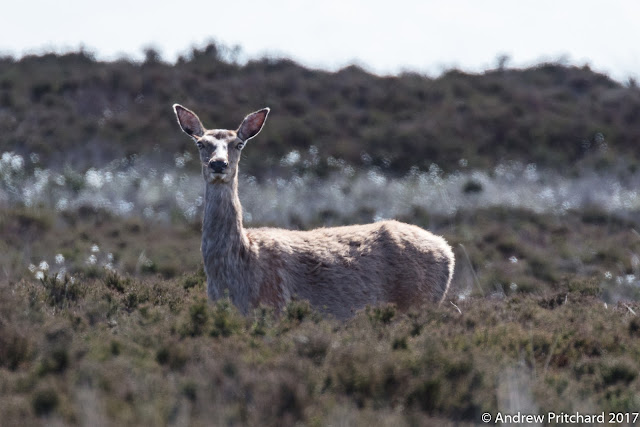 A doe stands watching from the safety of heather and cotton grass.