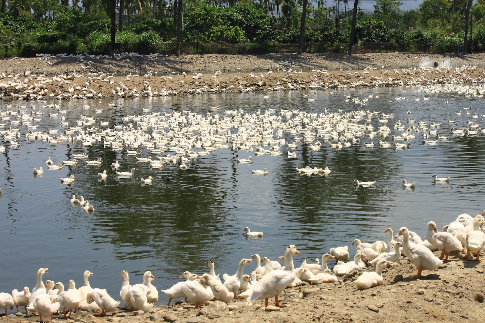 Estudiando agricultura en taiw n granja de patos for Granja de peces ornamentales