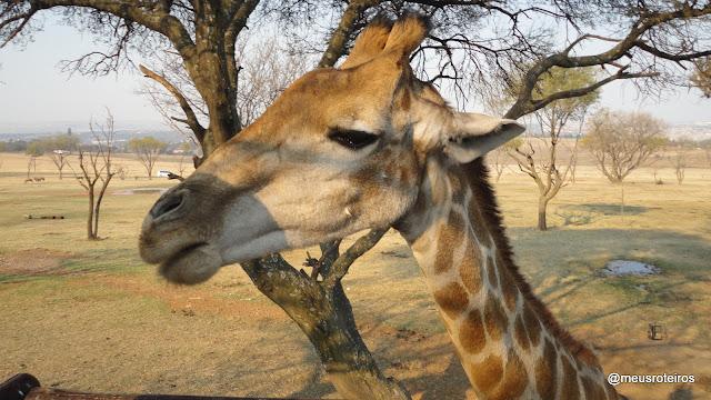 Girafa no Lion Park - Joanesburgo