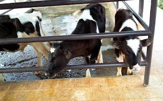 Menyusui anak sapi