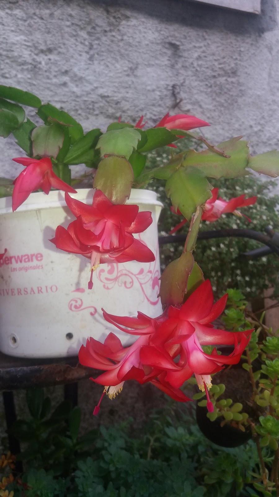 Bienvenidos a mi blogs de cactus suculentas y otras for Santa teresita planta