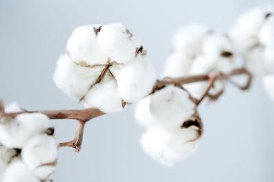 fleur-de-coton-doux-blanc-pur