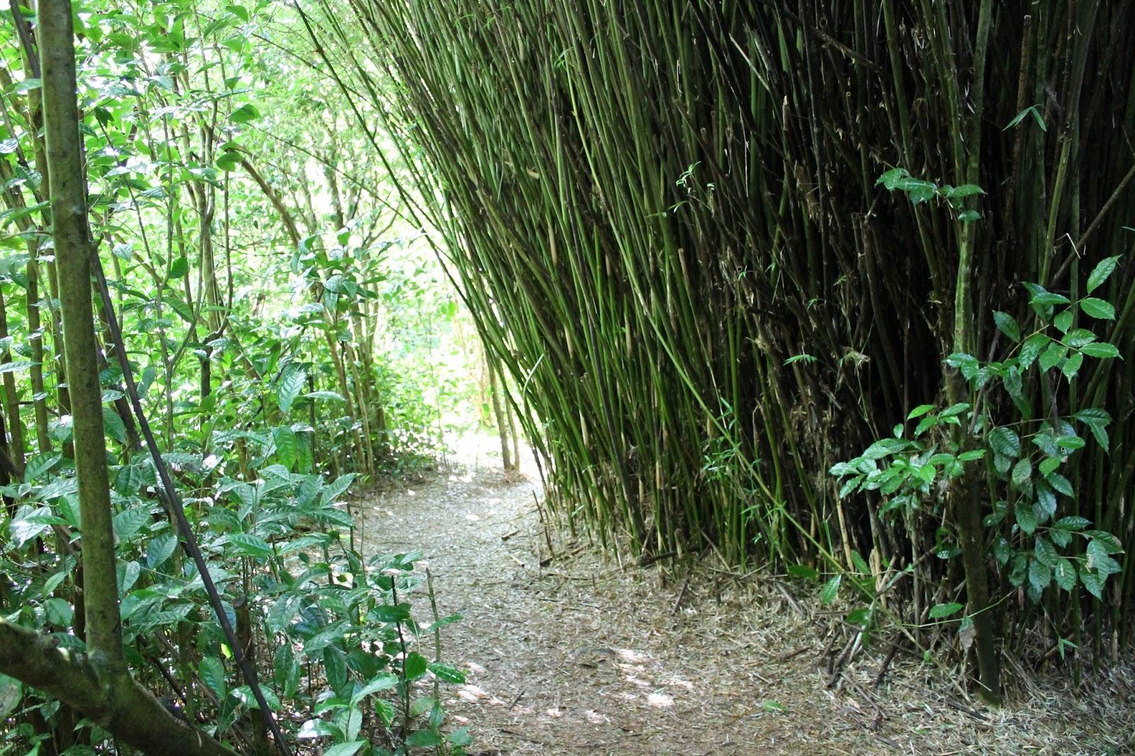 réunion île gotoreunion labyrinthe en champ thé tea grand coude visite à faire jumbocar irt tourisme 974 bambou chemin