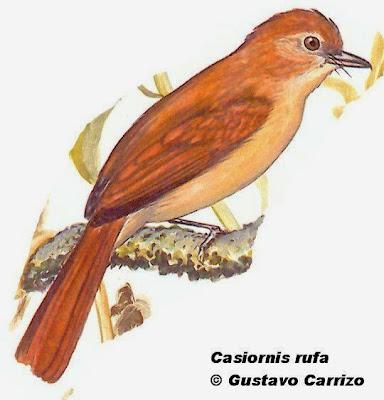Burlisto castaño, Casiornis rufus