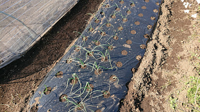 こちらは自家製の貧弱玉ねぎ苗を植え付け