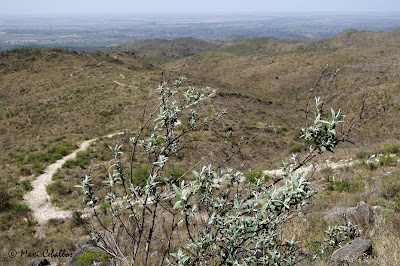 Palo blanco (Buddleja cordobensis)