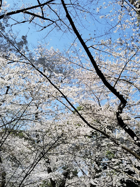 Parque Ueno, Tokio, Tokyo, Japon, Japan, hanami, picnic, cerezos en flor, sakura, floración, contemplación, Kiyomizu Kannon do, panda, panda gigante, zoo, zoologico, Shinobazu, cormoranes, Ameyoko, templo, loto, Benten-jima, lotus, Elisa N, Blog de Viajes, Lifestyle, Travel