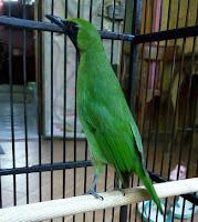 Burung Cucak Ijo Sudah Jadi Gacor Jantan Bodi Kecil