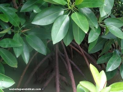 tulang daun bakau menyirip