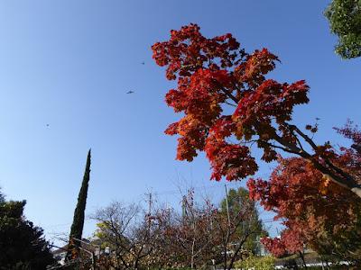 市民の森(鏡伝池緑地)モミジの紅葉