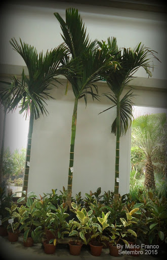 palmeira-betel, noz-de-betel