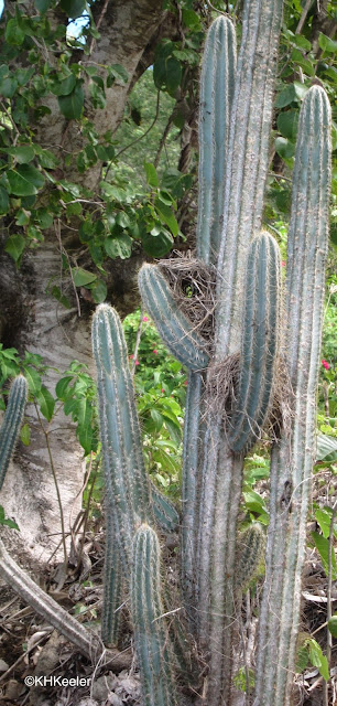 cactus with bird nest