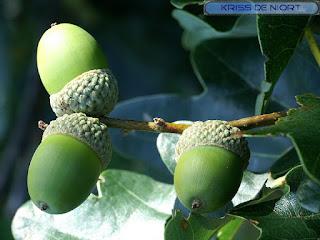 Fruit du Chêne - Gland