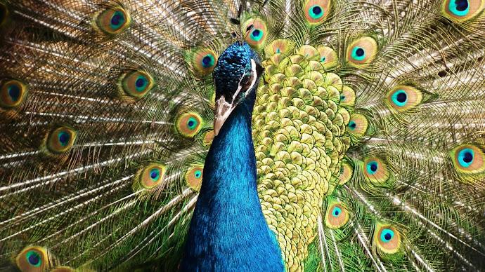 Wallpaper: Peacock